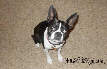 Ebby, Boston Terrier Dog